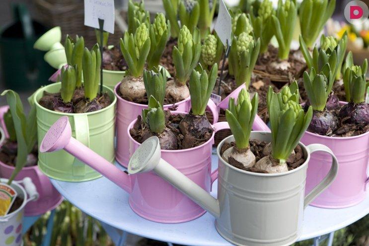 Как сажать луковичные цветы в горшок 34