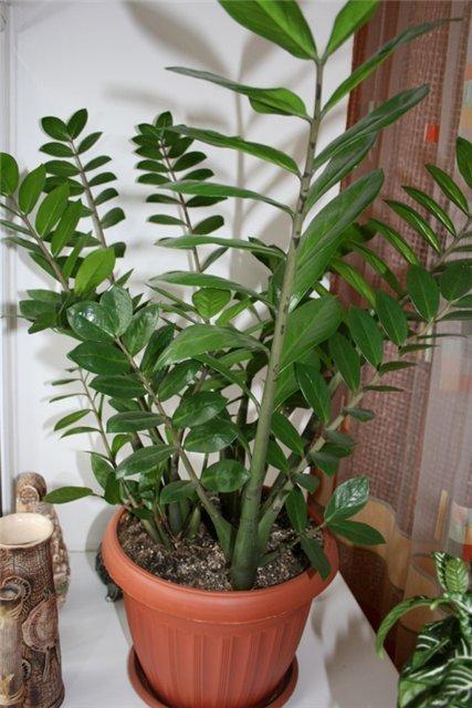 Горшок для долларовое дерево в домашних условиях 145