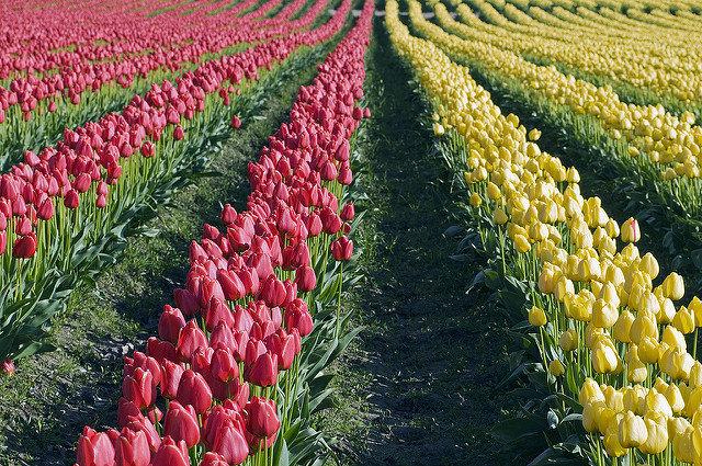 Выращивание тюльпанов 69