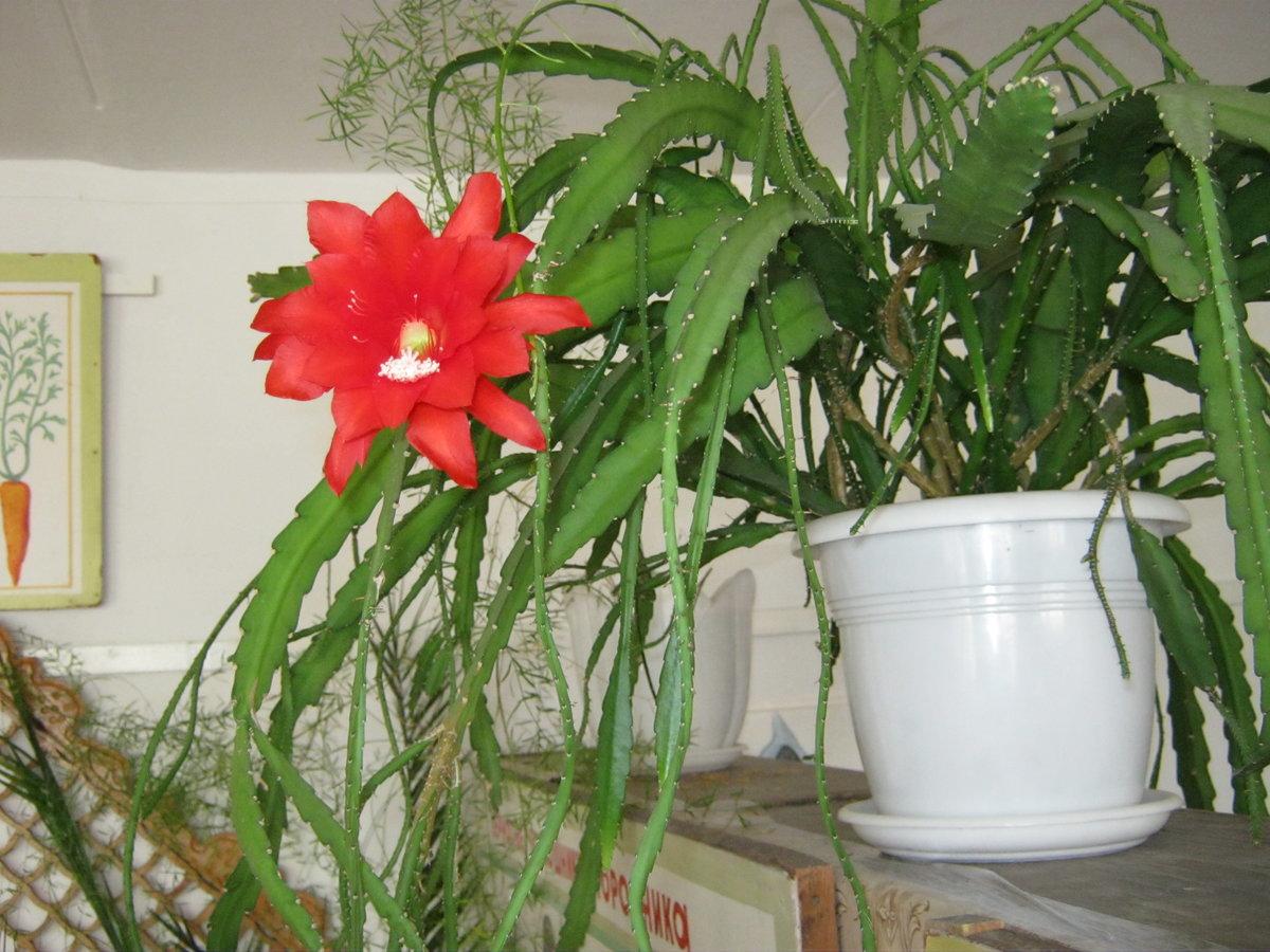 Комнатные цветы декабристы фото и названия