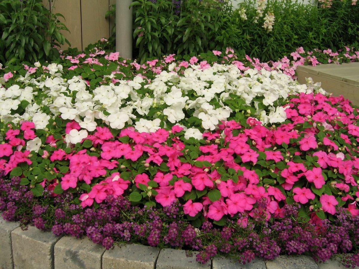 Бальзамин камелия: выращивание из семян, посадка и уход 55