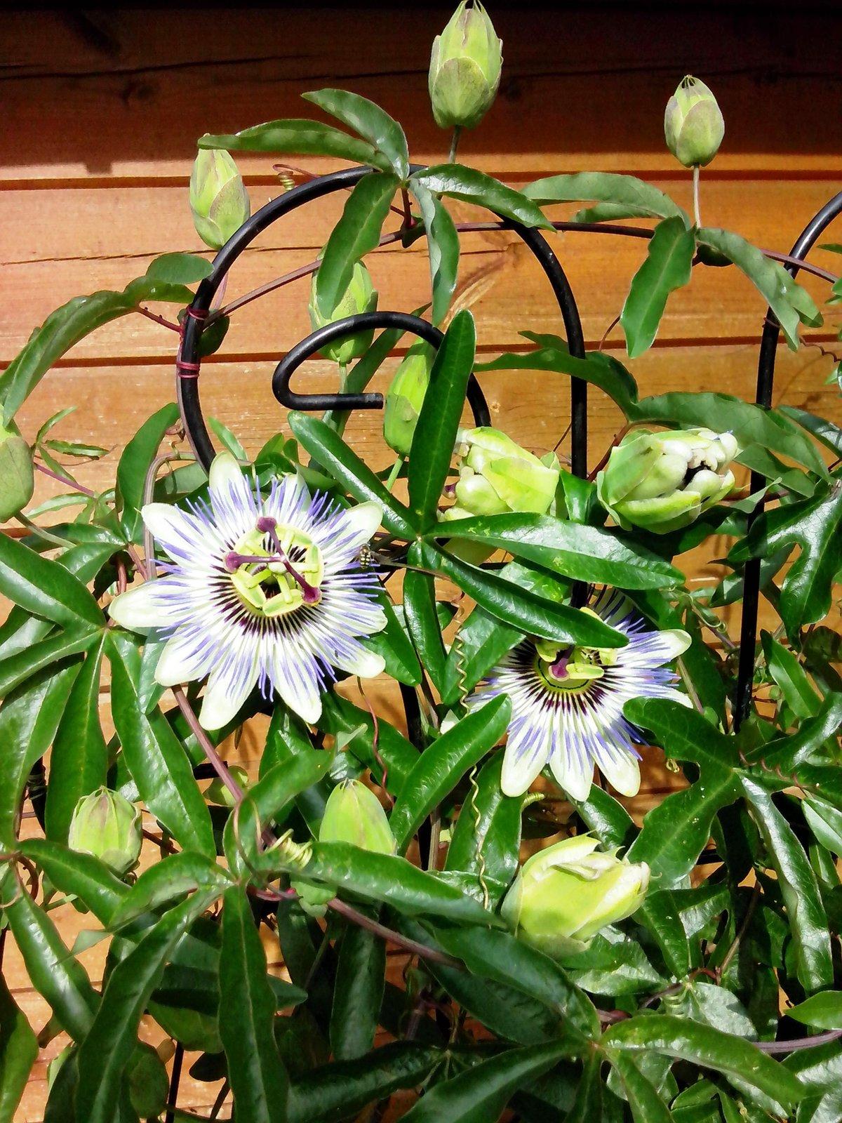 Не цветет пассифлора в домашних условиях 717