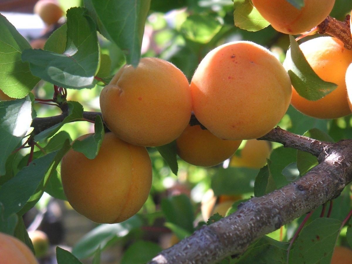 Выращивание абрикоса в тамбове 71
