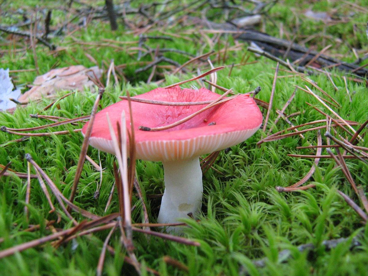 Фото грибов для детей сыроежка