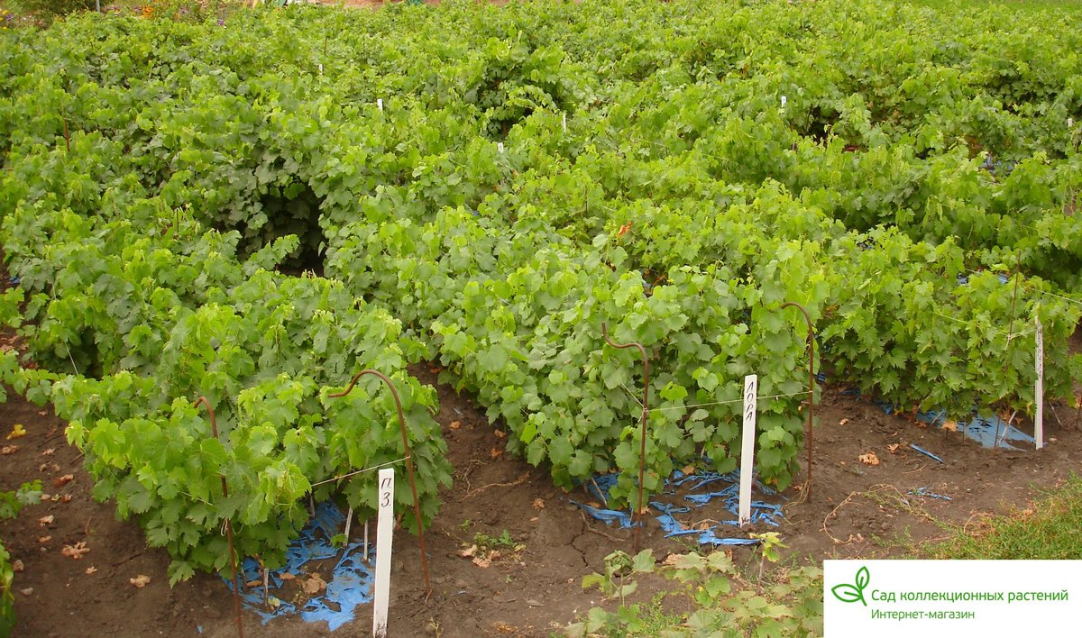 Как сажать осенью декоративный виноград 32