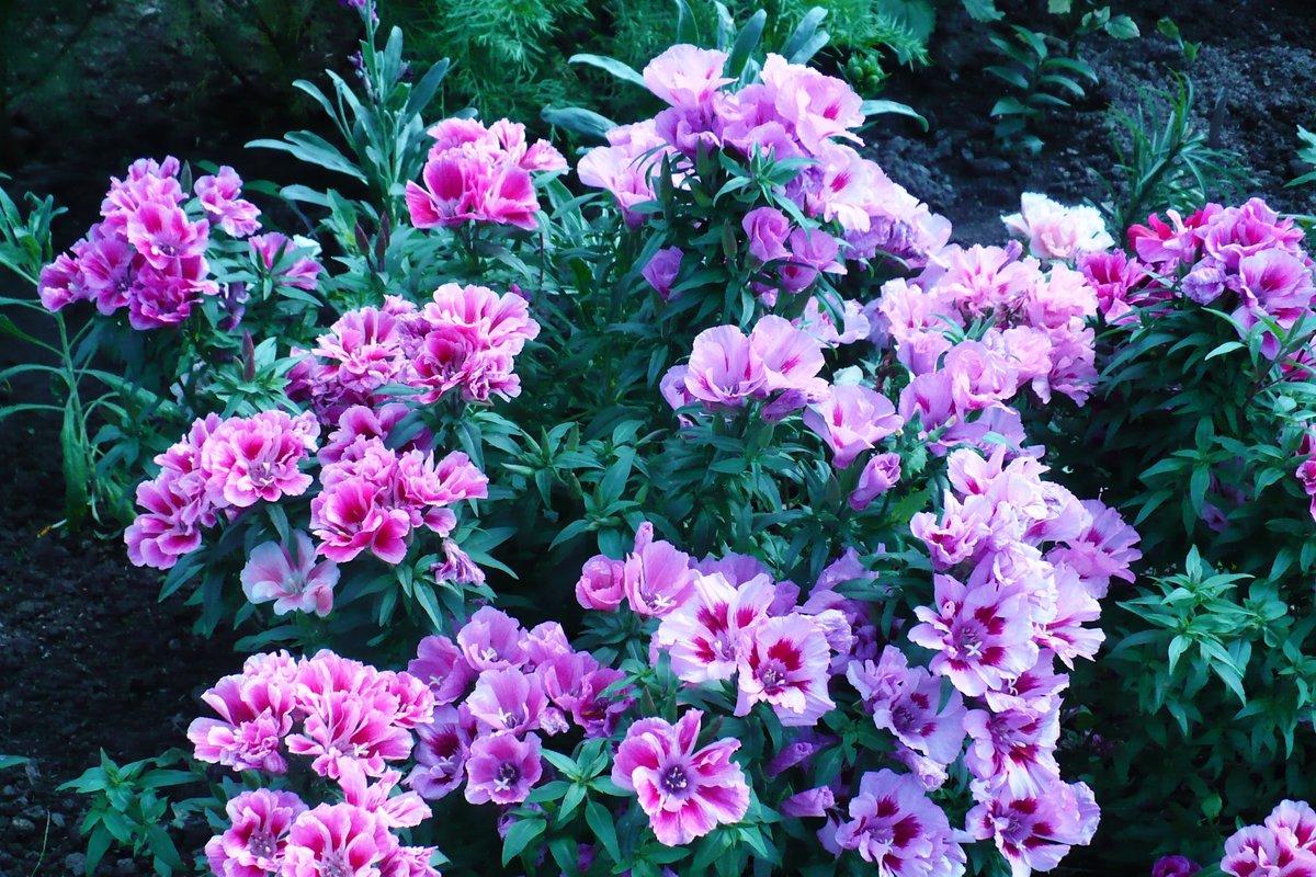 Цветы годеция фото сорта