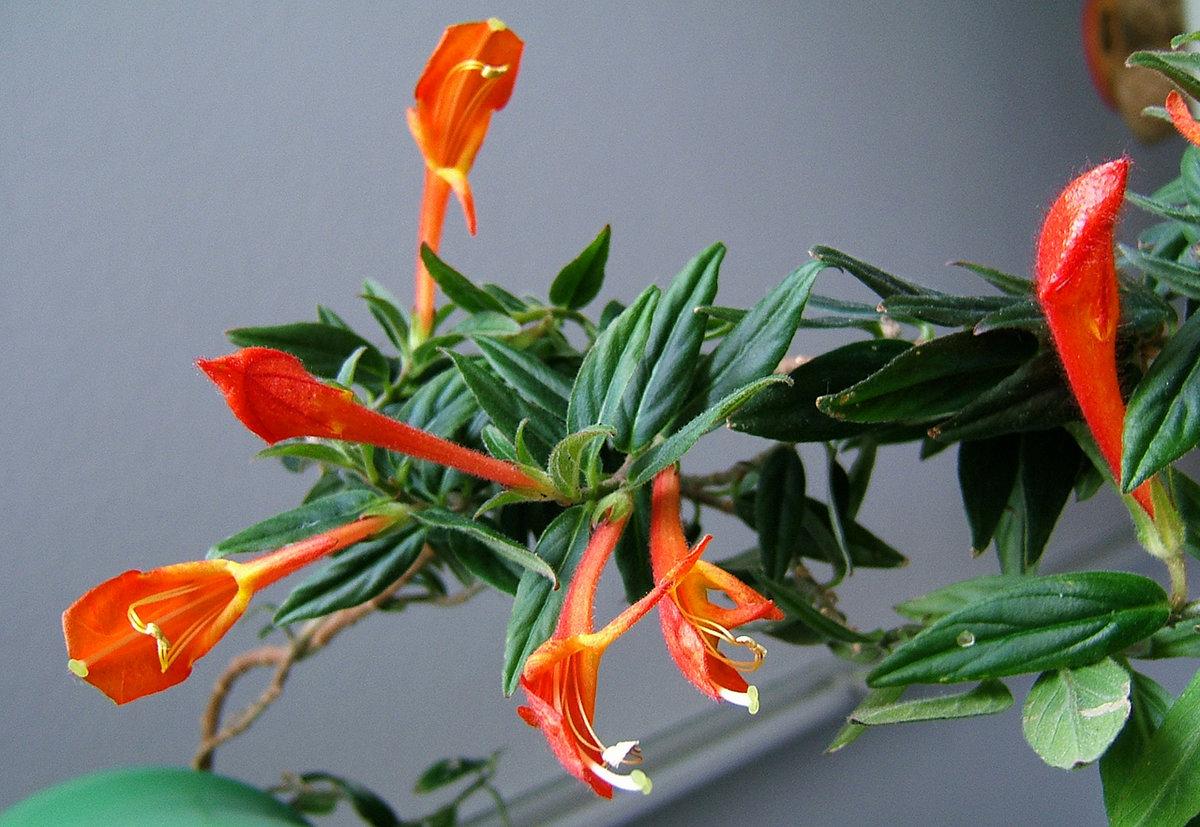Влаголюбивые комнатные растения Декоративные растения - описания 45