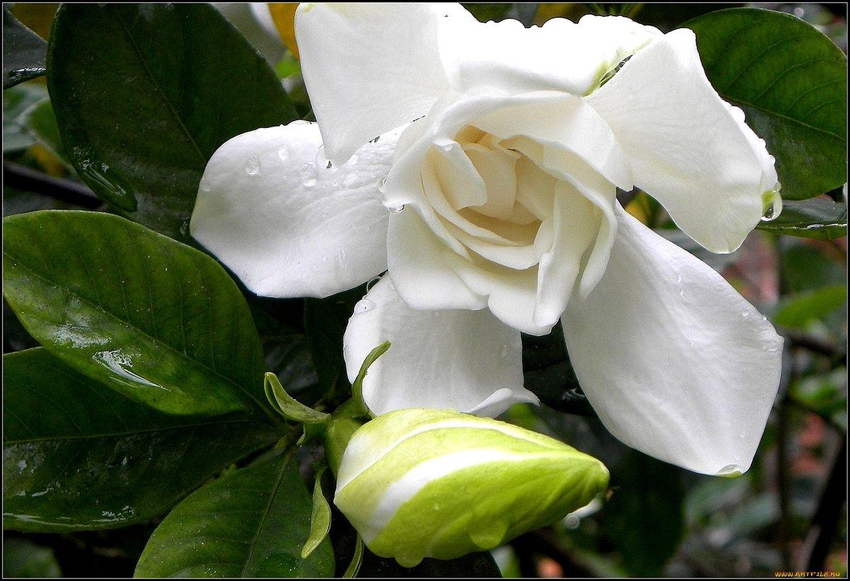 Фото цветок гардении
