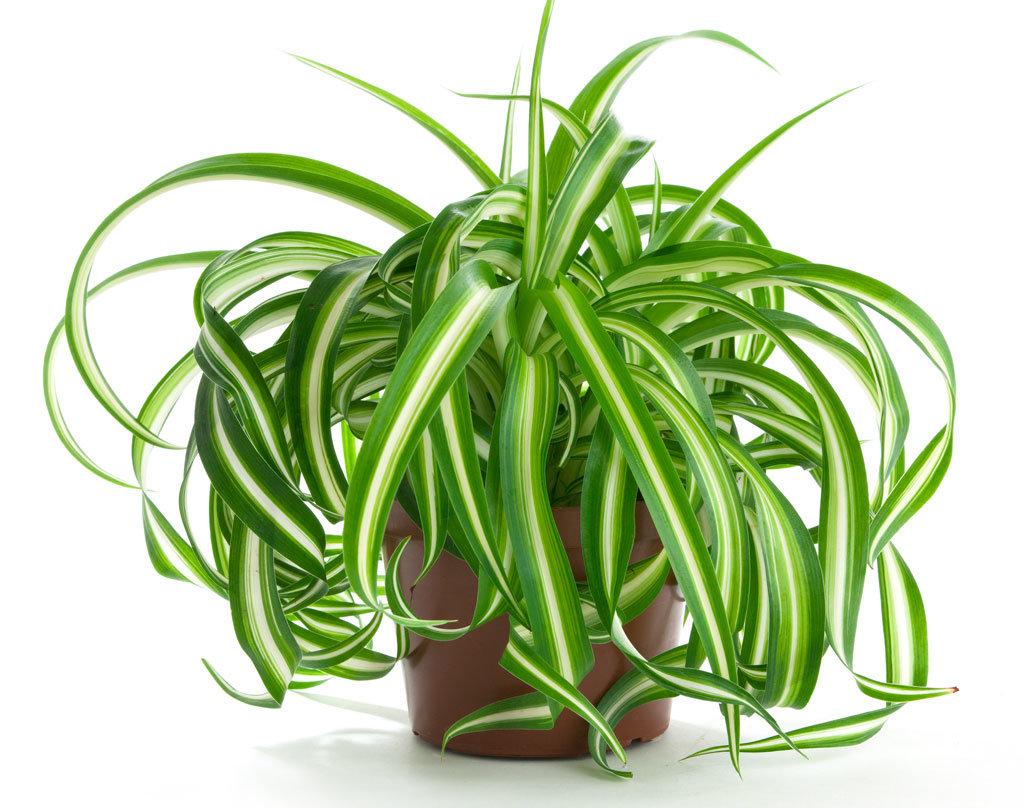 Уход за хлорофитумом в домашних условиях: полив, пересадка 36