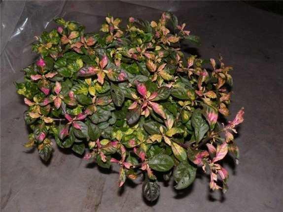 Комнатный цветок альтернантера