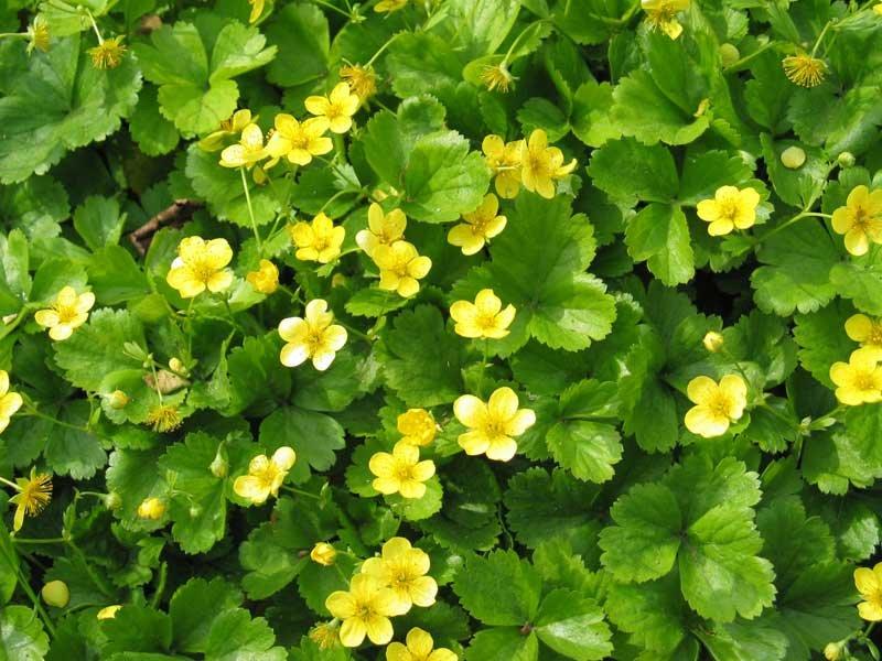 Клубника с желтыми цветками