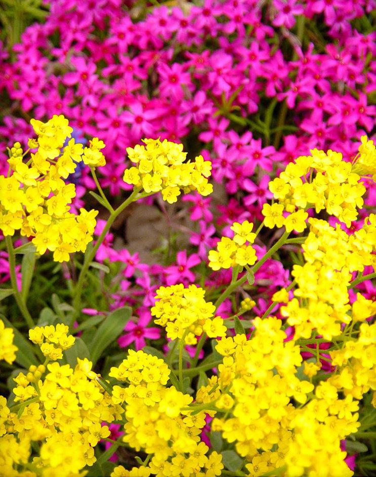Многолетние цветы алиссум