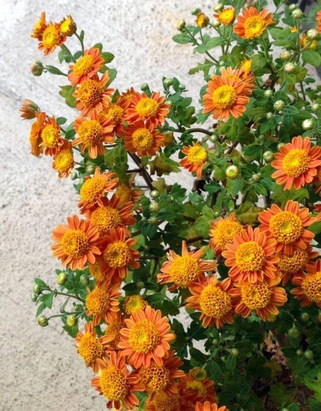 Комнатные хризантемы, как и их садовые собратья, цветут именно в наиболее красочный и огненный из всех сезонов. Они привносят ос