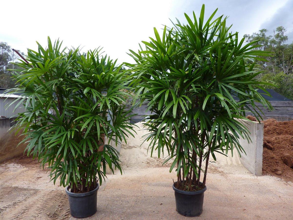 Домашние пальмы - разновидности комнатных пальм, фото с 56