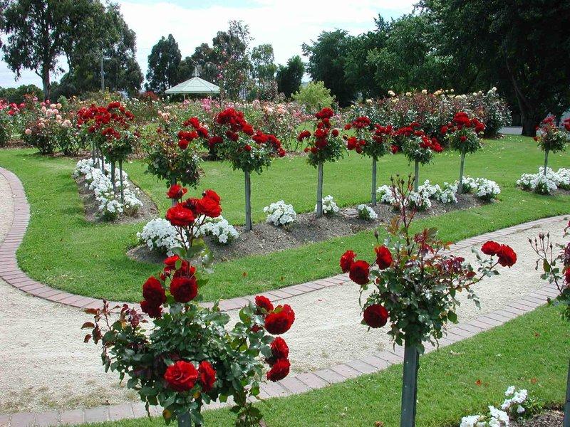 Кустовые розы в ландшафтном дизайне