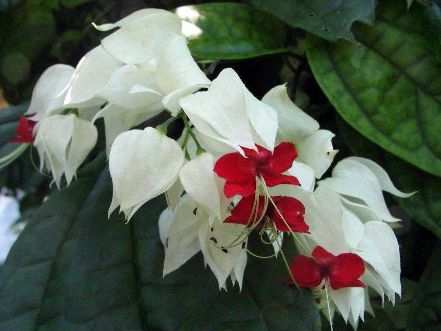 Цветок который цветет красно белыми цветами