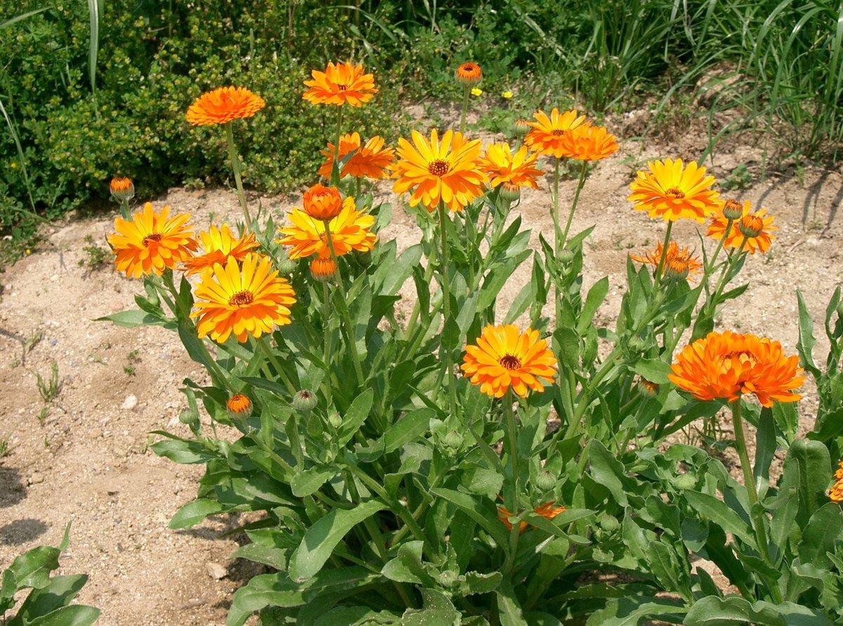 Календула цветок выращивание 64