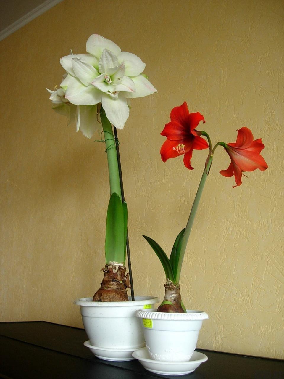 Комнатные цветы из клубней фото