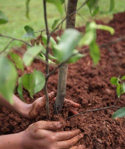 Как сажать деревья в глинистую почву 80