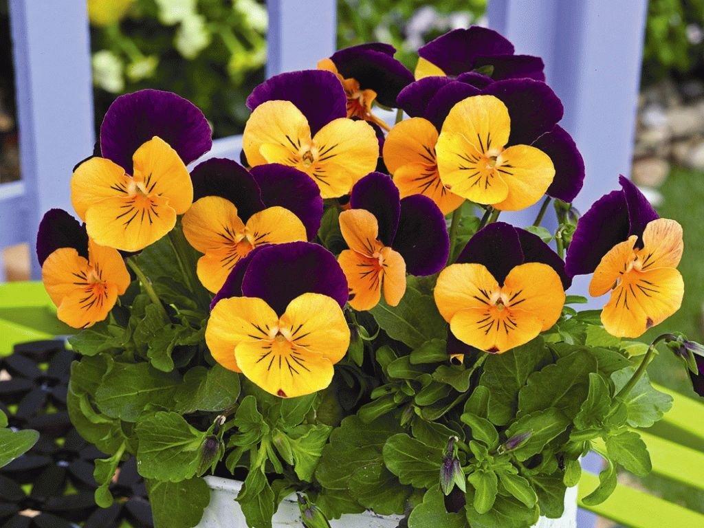 Выращивание виолы на балконе и в саду: уход за виолой Цветок