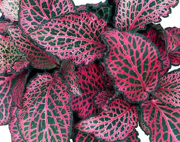 198Комнатный цветок с красно-зелеными листьями