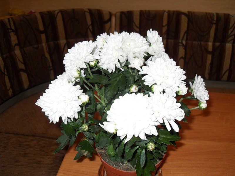 Хризантемы в домашних условиях уход фото