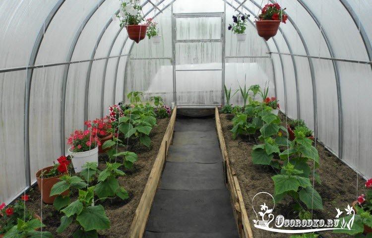 Выращивание огурцов зимой в теплице на 236
