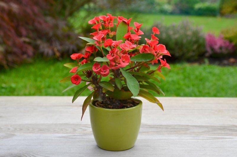 Молочай цветок и уход за ними с