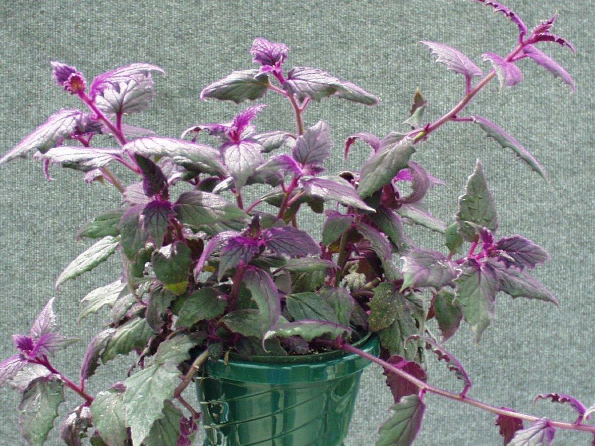 Комнатные растения фиолетовые цветы фото