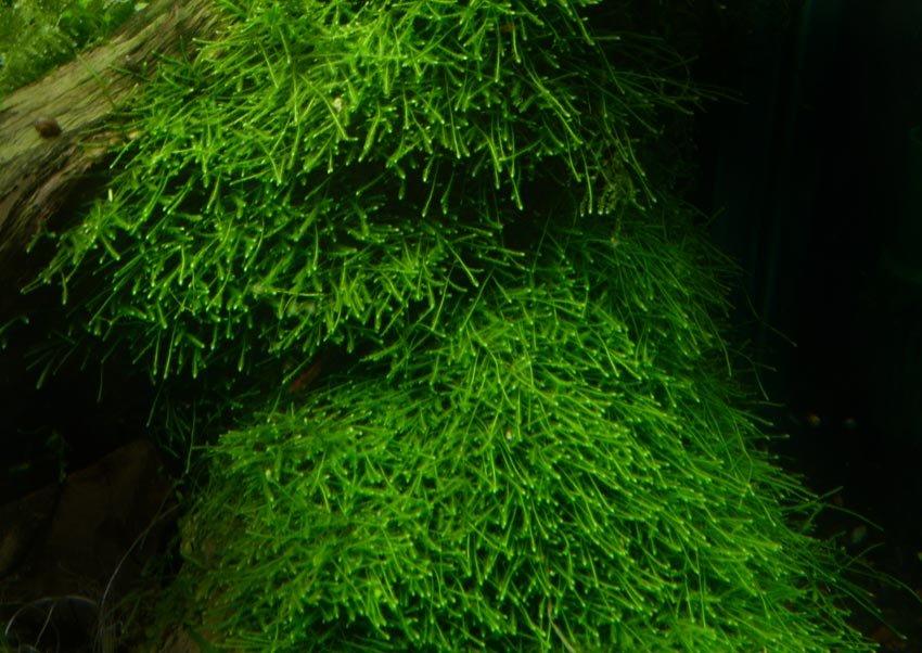 Выращивание мхов аквариумных 5