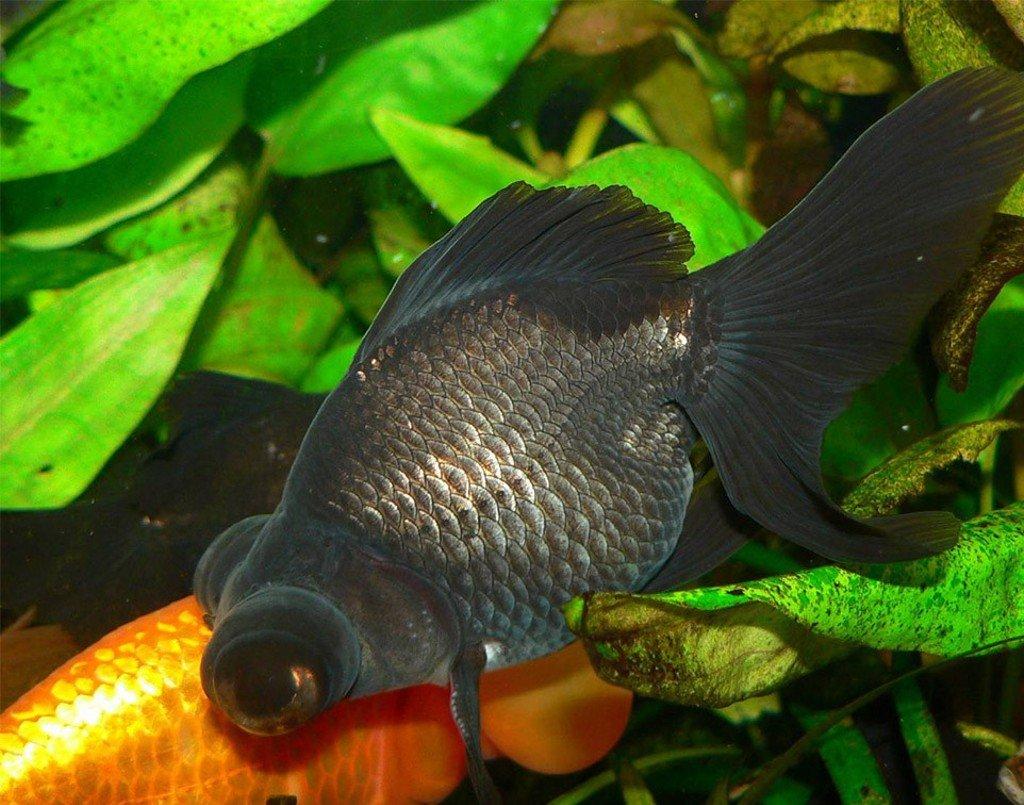 Аквариумные рыбки фото телескоп