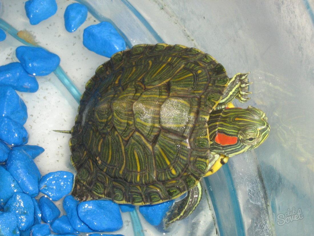 Содержание водной черепахи в домашних условиях 6