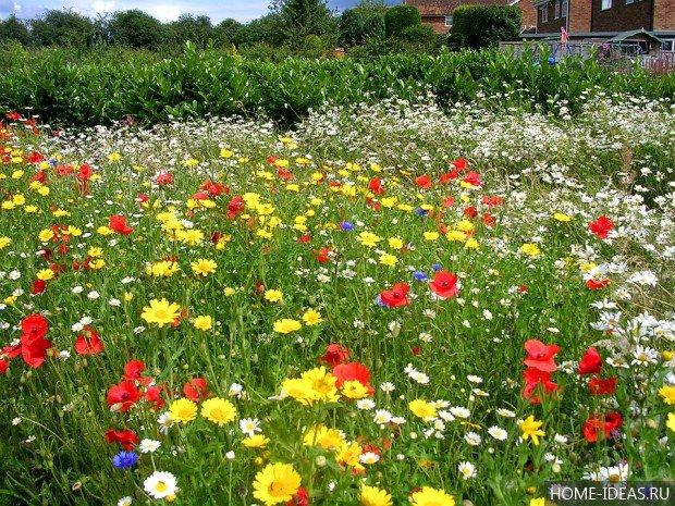 Газон из полевых цветов
