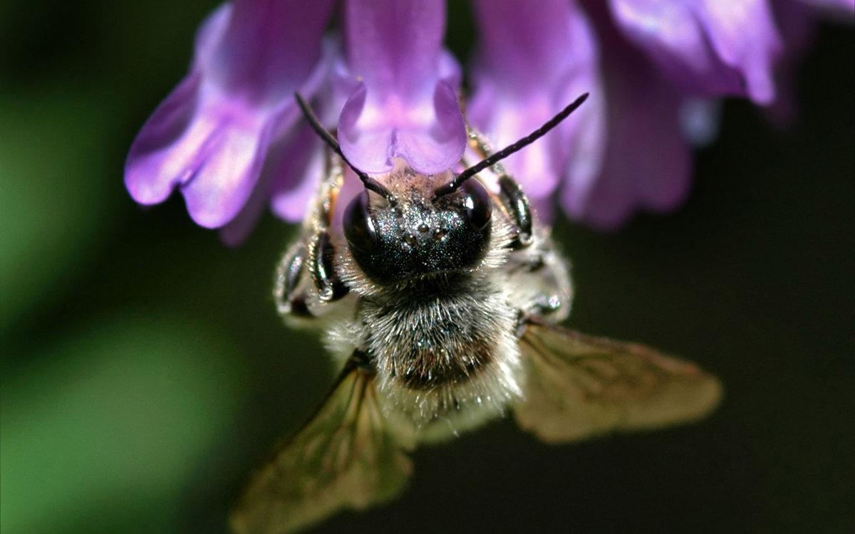 природа цветы насекомое пчела  № 3105953  скачать