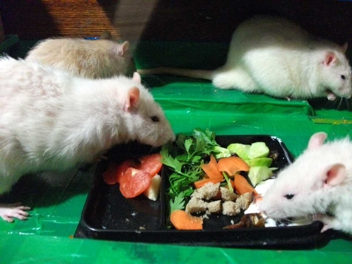 Что едят крысы в домашних условиях