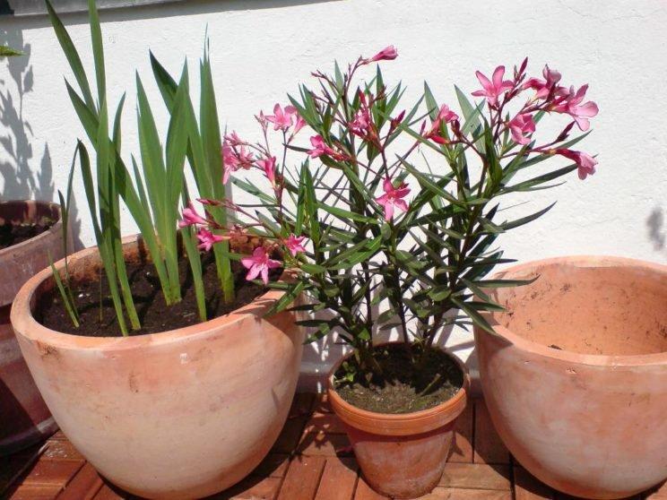 Когда и как размножить олеандр в домашних условиях 144