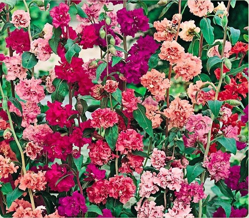 Фото кларкия цветок
