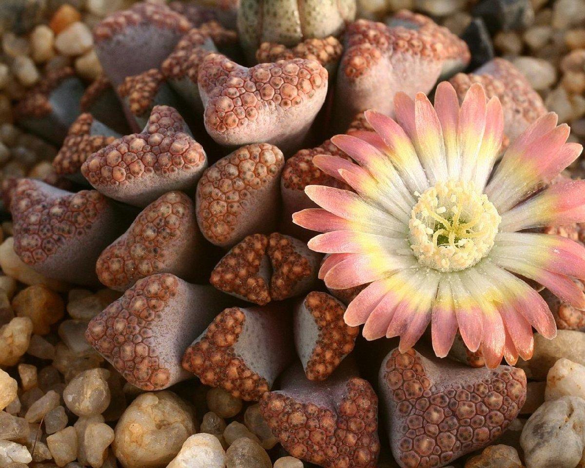 Живые камни: литопсы в скромном горшочке 45