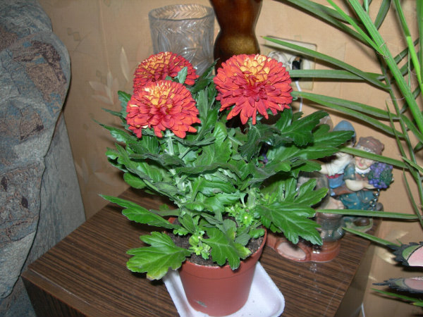 Как ухаживать за хризантема в домашних условиях