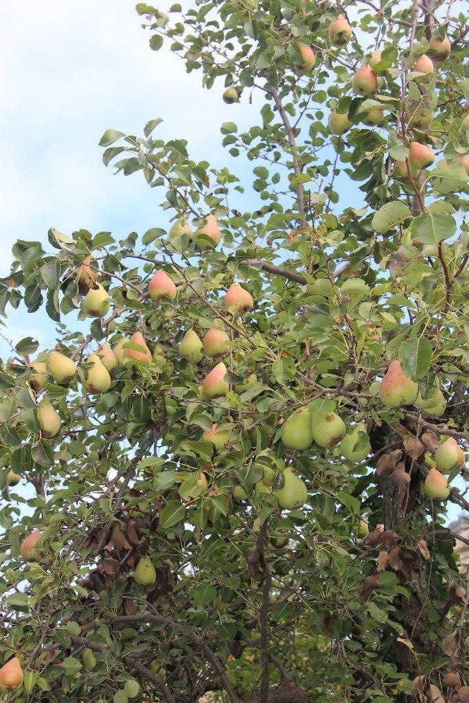 Выращивание груши в крыму 9400