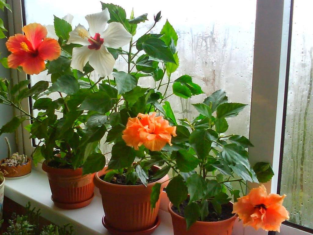 Китайский роза как ухаживать за ней в домашних условиях 532