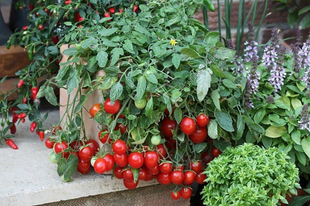 Сорт помидоров для выращивания на подоконнике