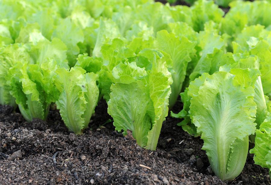 Выращивание салата в сентябре 51