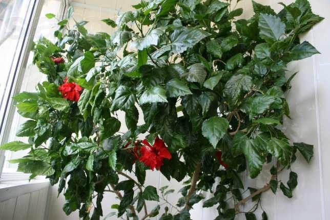 Китайский роза как ухаживать за ней в домашних условиях 678