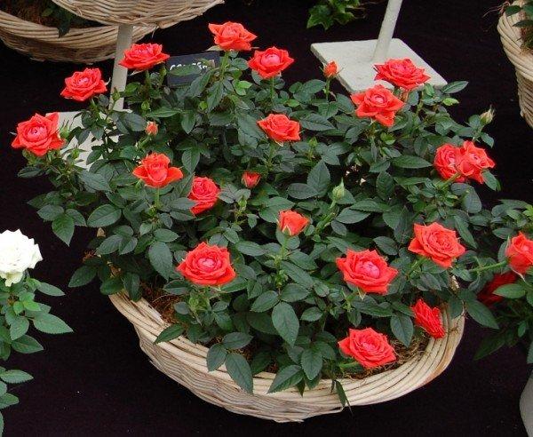 Уход за миниатюрными розами в домашних условиях