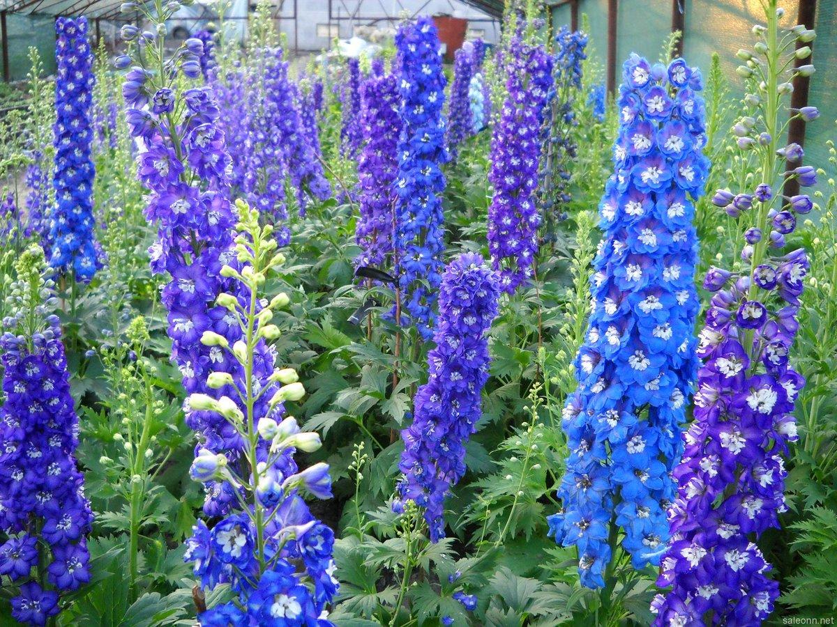 Садовые цветы дельфиниум: фото, описание, посадка, уход в 36