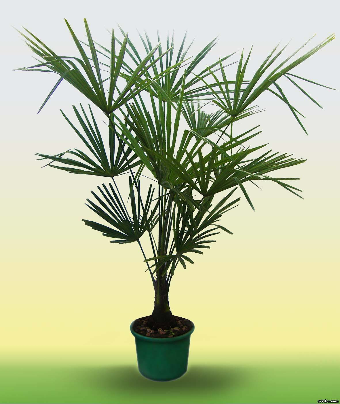 Комнатные цветы пальма фото и названия