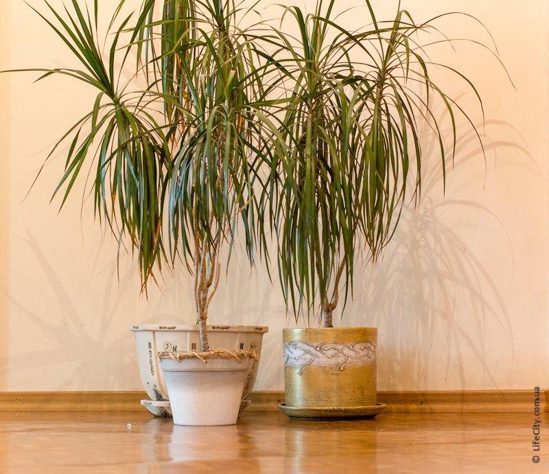 Пальмы и драцены в домашних условиях 805