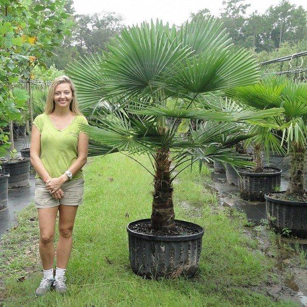 Взрослые домашние пальмы пересадить практически не реально, для таких растений достаточно частичной замены субстрата. - карточка