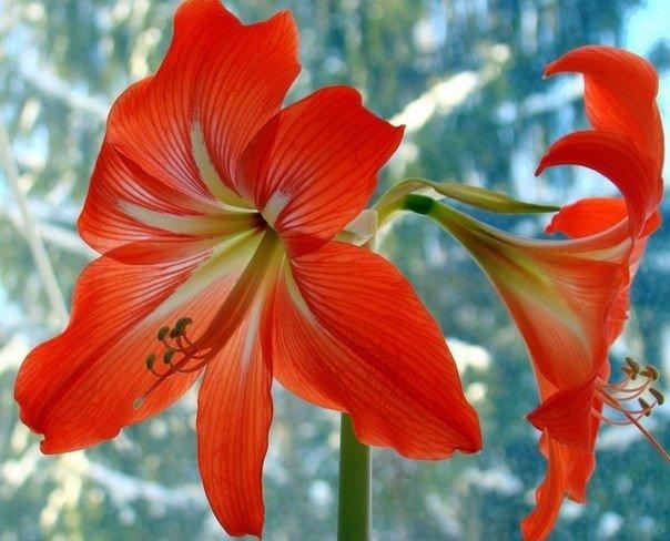 Домашние цветы лилиями